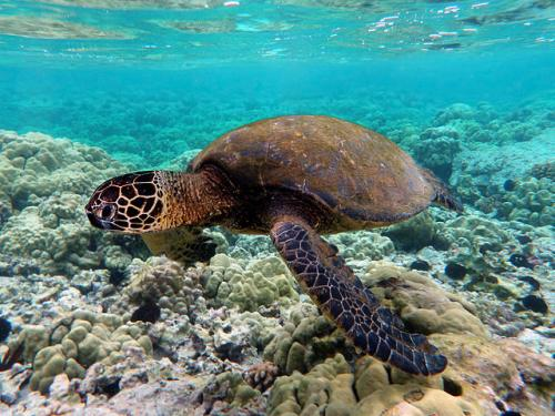 640px-Green turtle swimming over coral reefs in Kona