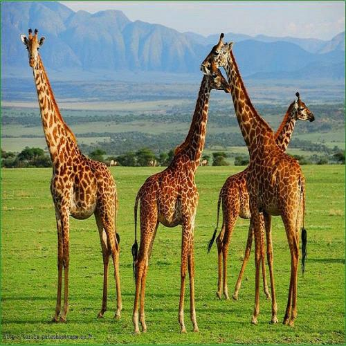 412093932 w0 h0 tanzaniya serengeti
